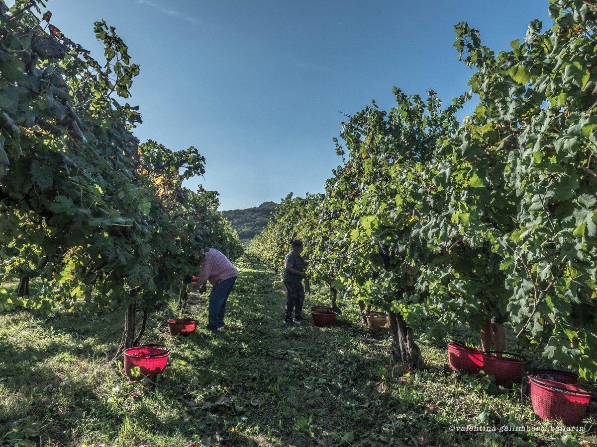 Grape Harvesting by Valentina Gallimberti Ballarin
